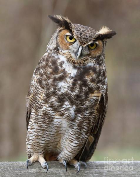 Photograph - Great Horned Owl 3 by Chris Scroggins