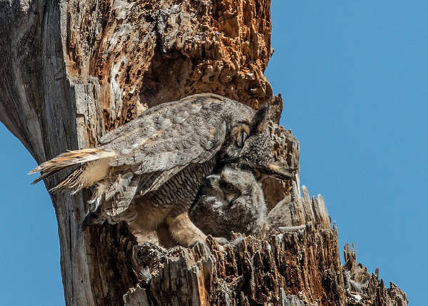 Wall Art - Photograph - Great Horned Owl Affection by Dawn Key