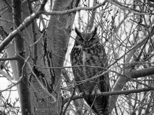 Arapahoe County Wall Art - Photograph - Great Horned Owl B W by Connor Beekman