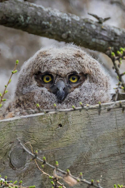 Photograph - Great Horned Owl Baby by Paul Schultz