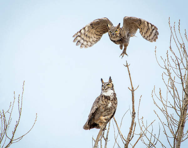 Photograph - Great Horned Owl Couple by Judi Dressler
