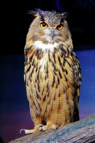 Nfs Photograph - Great Horned Owl by Daniel Caracappa