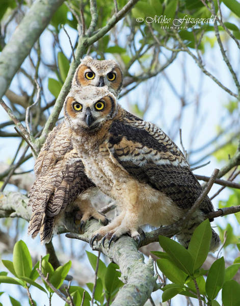Photograph - Great Horned Owl Fledglings by Mike Fitzgerald