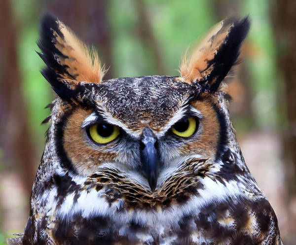 Photograph - Great Horned Owl Head by Jill Lang