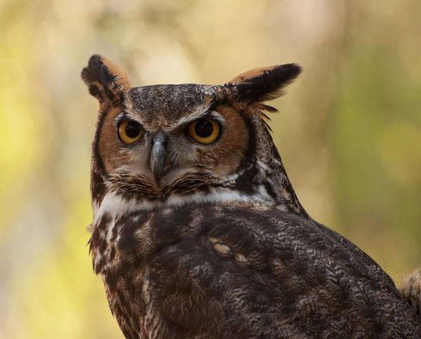 Photograph - Great Horned Owl In A Tree 1 by Chris Flees