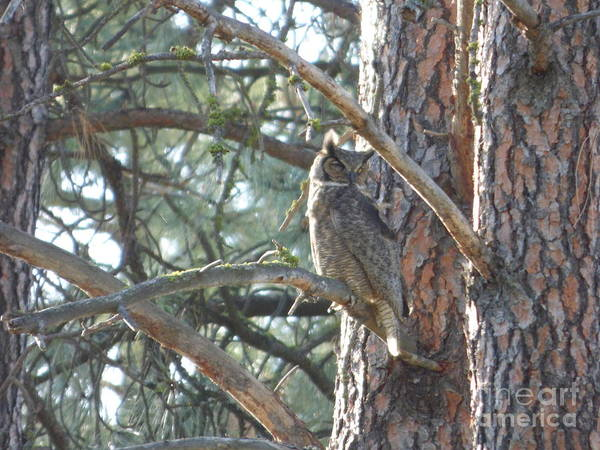 Photograph - Great Horned Owl In A Tree by Charles Robinson
