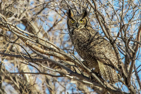 Wall Art - Photograph - Great Horned Owl In Cottonwood Tree by Dawn Key