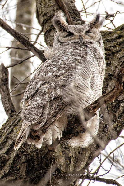 Photograph - Great Horned Owl Male.... by Paul Vitko