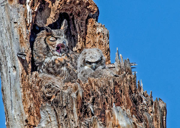 Wall Art - Photograph - Great Horned Owl Mother Yawning by Dawn Key