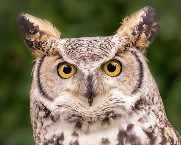 Ornithologist Wall Art - Photograph - Great Horned Owl, Northern Color Variant by Jim Hughes