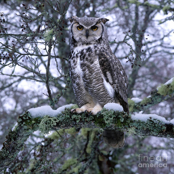 Photograph - Great Horned Owl On A Snowy Branch by Warren Photographic