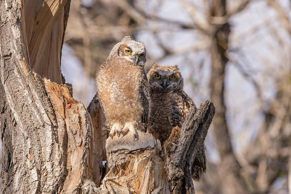 Photograph - Great Horned Owl Owlets At Sunset by Tony Hake
