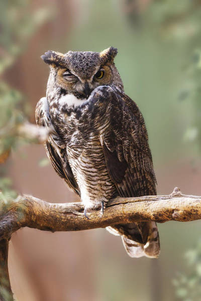Hoot Wall Art - Photograph - Great Horned Owl Perched On Branch by Susan Schmitz