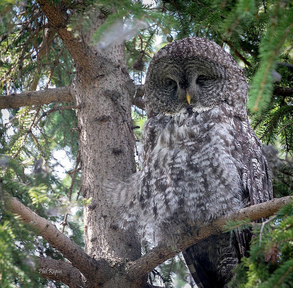 Photograph - Great Horned Owl by Philip Rispin