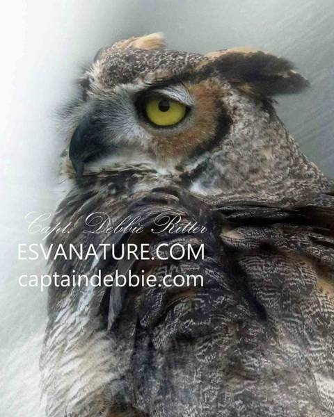 Photograph - Great Horned Owl Profile by Captain Debbie Ritter