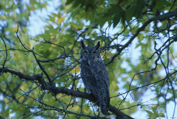 Manzana Wall Art - Photograph - Great-horned Owl by Soli Deo Gloria Wilderness And Wildlife Photography