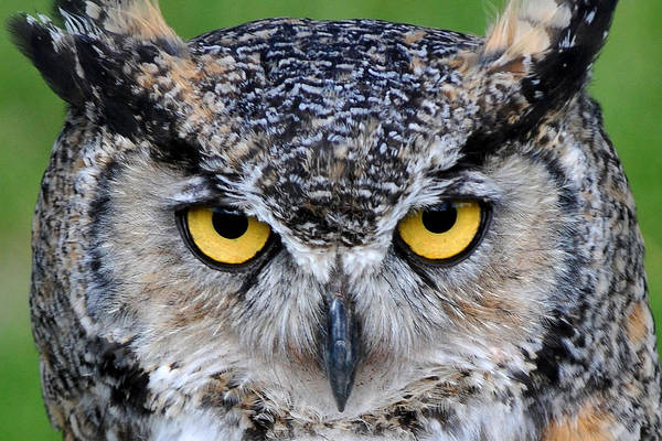 Wall Art - Photograph - Great Horned Owl Stare by Alan Lenk
