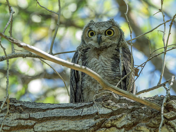 Photograph - Great Horned Owl by Tam Ryan