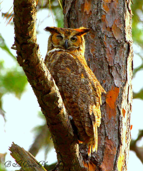 Photograph - Great Horned Owl Wink by Barbara Bowen
