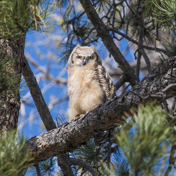 Wall Art - Photograph - Great Horned Owlet In The Pines by Dawn Key