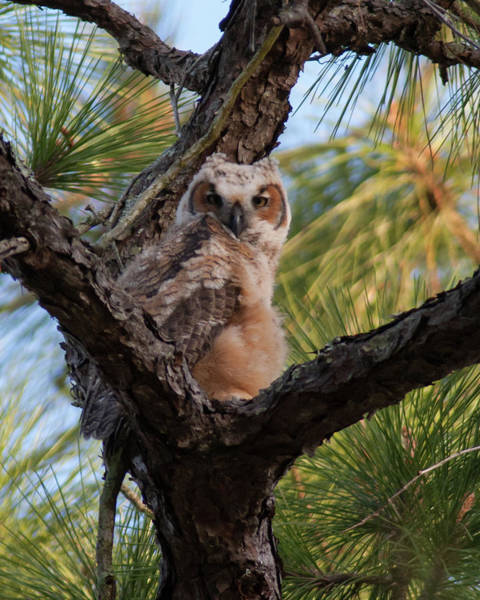 Photograph - Great Horned Owlet by Paul Rebmann