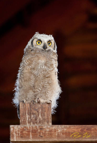 Photograph - Great Horned Owlet by Rikk Flohr