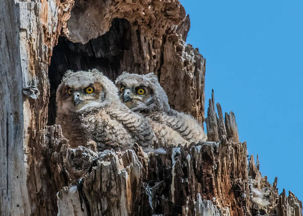 Wall Art - Photograph - Great Horned Owlets by Dawn Key