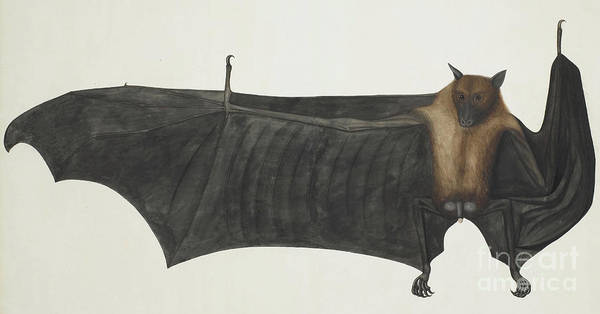 India Ink Wall Art - Painting - Great Indian Fruit Bat by Indian School