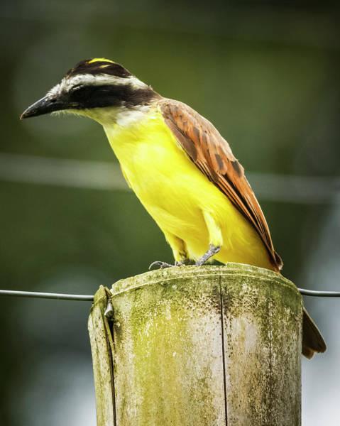 Photograph - Great Kiskadee Panaca Quimbaya Colombia by Adam Rainoff