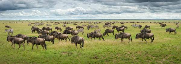 Herd Photograph - Great Migration In Serengeti Plains by Kirill Trubitsyn