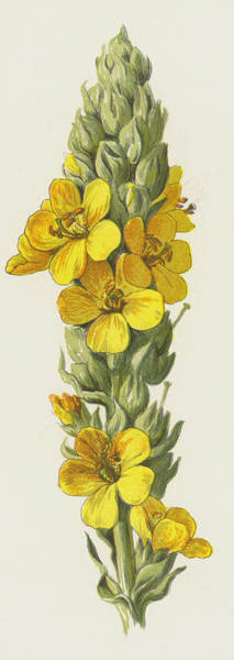 Wall Art - Painting - Great Mullein  by Frederick Edward Hulme