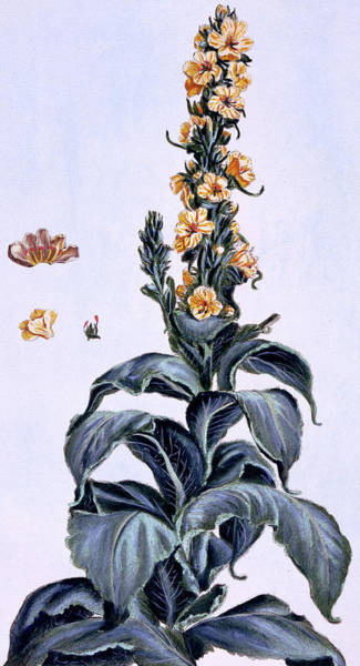 Wall Art - Painting - Great Mullein by Pierre-Joseph Buchoz