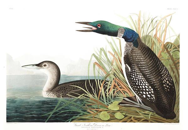 Loon Painting - Great Norther Diver Or Loon by John James Audubon