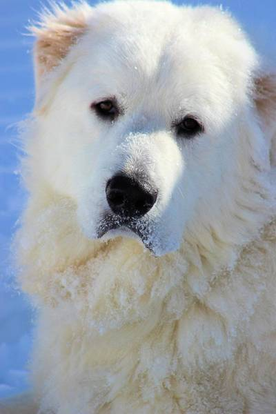 Great Pyrenees Photograph - Great Pyrenees by Roxanne Jones