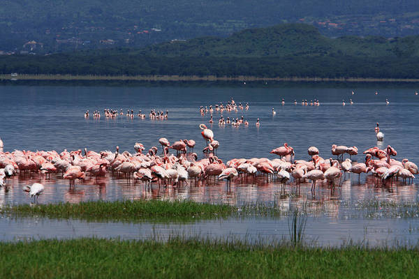 Photograph - Great Rift Valley Flamingos  by Aidan Moran