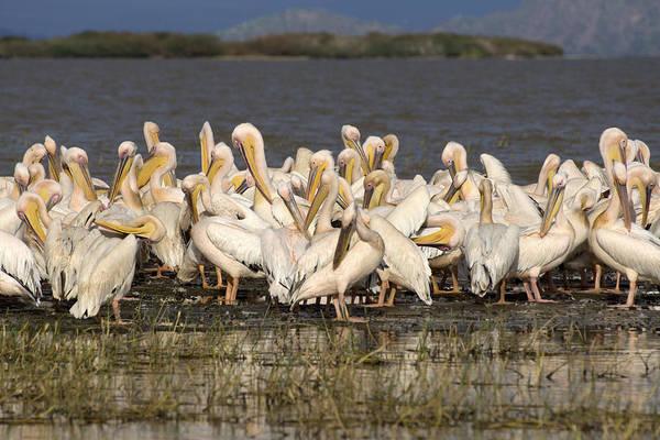 Photograph - Great Rift Valley Pelicans by Aidan Moran