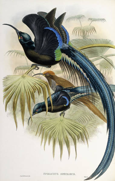 Sickle Painting - Great Sickle-billed Bird Of Paradise by John Gould