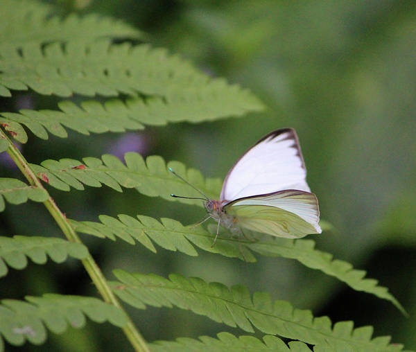 Photograph - Great Southern White Male by Cynthia Guinn