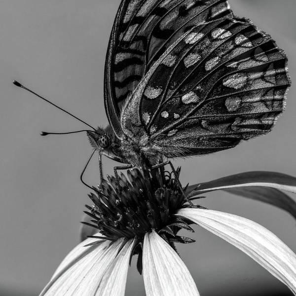 Photograph - Great Spangled Fritillary Black And White by Bob Orsillo