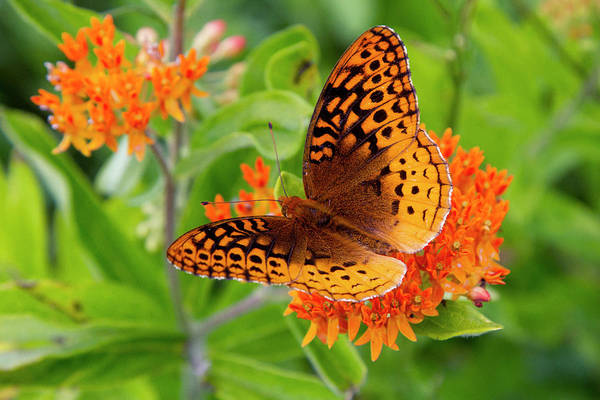 Photograph - Great Spangled Fritillary I by Dawn J Benko