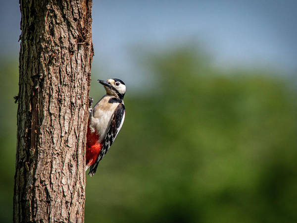 Photograph - Great Spotted Woodpecker by Framing Places