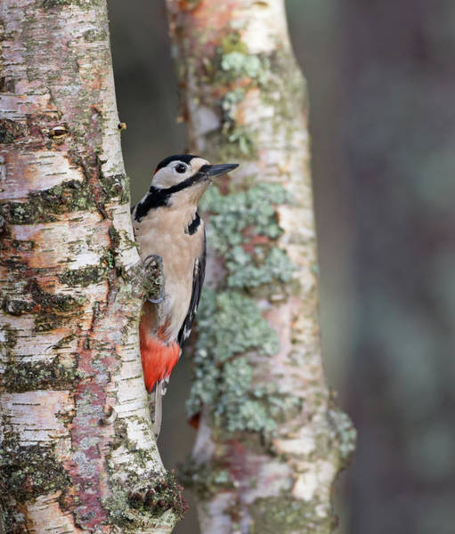 Photograph - Great Spotted Woodpecker by Peter Walkden