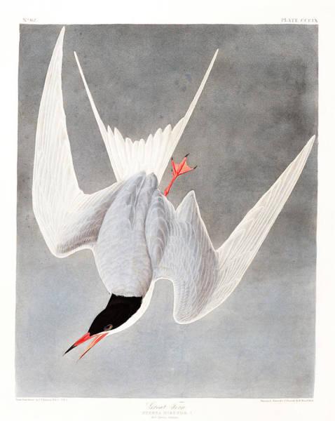 Wall Art - Painting - Great Tern by John James Audubon