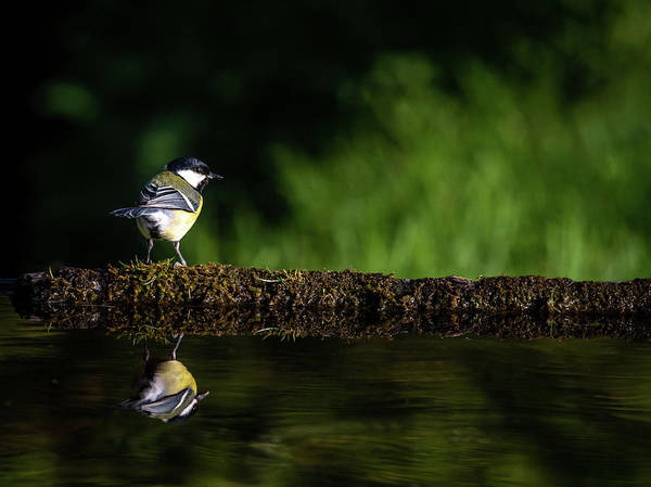 Photograph - Great Tit On Reflection Pond by Framing Places