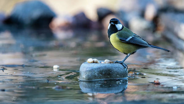 Photograph - Great Tit's Peanuts by Torbjorn Swenelius
