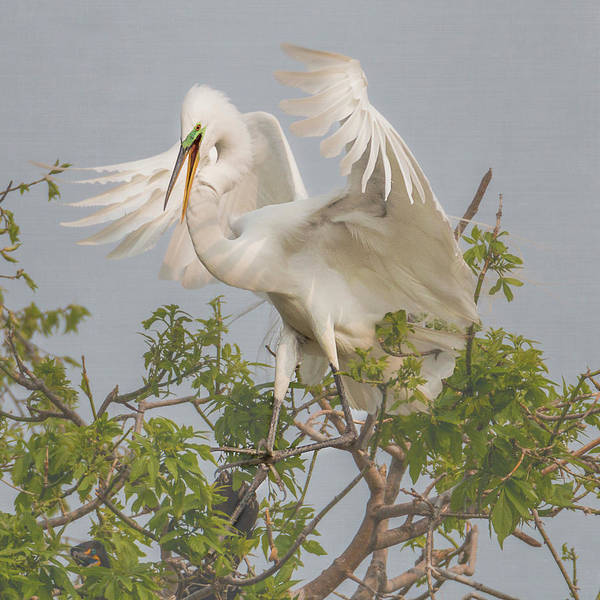 Photograph - Great White Egret Square #2 by Patti Deters