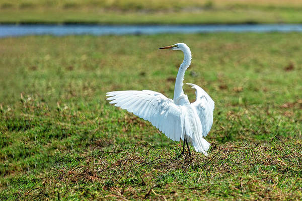 Photograph - Great White Egret Ahoy by Kay Brewer