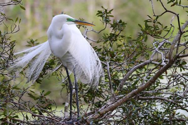 Photograph - Great White Egret by Carol Montoya