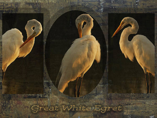 Photograph - Great White Egret Collage by Charles McKelroy