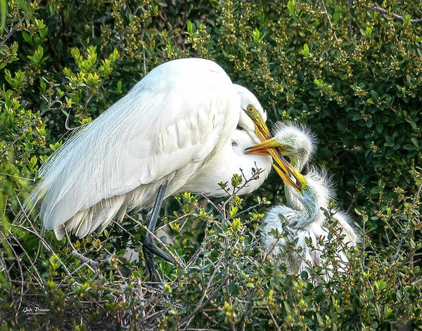 Photograph - Great White Egret Family by Judi Dressler